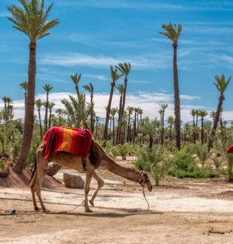 Camel trekking in Palmeries of Marrakech